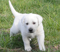 Labrador Retriever Puppy For Sale in VALLEY CENTER, KS, USA