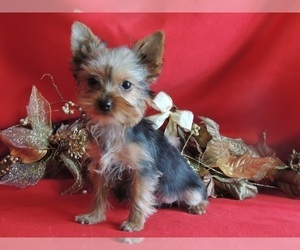 Yorkshire Terrier Puppy for Sale in BERWICK, Illinois USA
