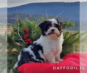 Havanese Puppy for sale in MILLERSBURG, PA, USA