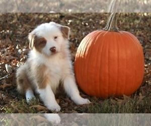 Australian Shepherd Puppy for sale in HAZEL, KY, USA