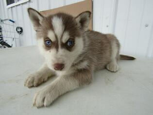 Siberian Husky Puppy For Sale in HUDSON, MI, USA