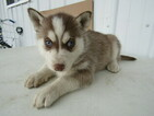 Siberian Husky Puppy For Sale in HUDSON, MI, USA