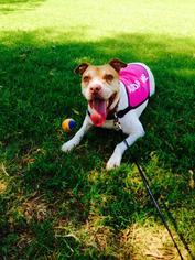 Daja - Pointer / Pit Bull Terrier / Mixed (short coat) Dog For Adoption