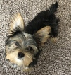 Yorkshire Terrier Puppy For Sale in EAGLE CREEK, IN, USA