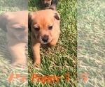 Puppy 4 Beagle-Unknown Mix