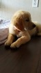 Golden Retriever Puppy For Sale in RUNNING SPRINGS, CA, USA