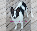 Small Photo #1 Pomsky Puppy For Sale in SEQUIM, WA, USA