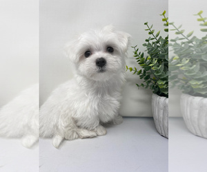 Maltese Puppy for Sale in ROCKY MOUNT, North Carolina USA
