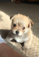 malchi puppies for sale