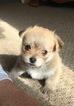 Malchi Puppy For Sale in SYLVA, NC, USA