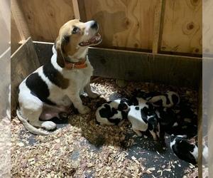 Beagle Puppy for sale in TIVERTON, RI, USA
