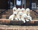 Golden Retriever Puppy For Sale in SCOTTSBORO, AL, USA