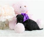 Small #2 Pomeranian-Poodle (Toy) Mix