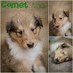 Purebred Collie pups ready Dec 16th