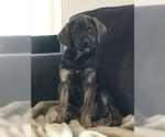 Puppy 5 Aussiedoodle-Labradoodle Mix