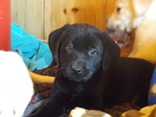 Labrador Retriever Puppy For Sale in GREENWOOD, WI, USA