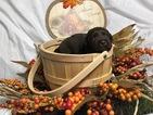 Small #13 Labrador Retriever
