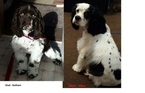 AKC Registered Cocker Spaniels