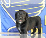 Small Photo #4 Double Doodle Puppy For Sale in FREDERICKTOWN, MO, USA