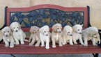 Poodle (Standard) Puppy For Sale in SAN JACINTO, California,