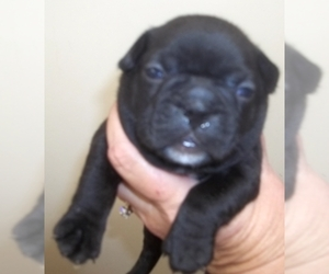Faux Frenchbo Bulldog Puppy for sale in WILSONVILLE, OR, USA