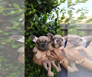 French Bulldog Puppy for sale in HOUSTON, TX, USA
