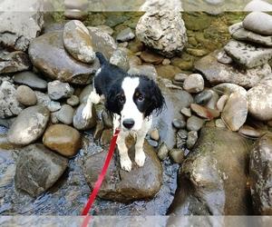 English Springer Spaniel Puppy for sale in TALBOTT, TN, USA