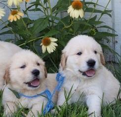 Golden Retriever Puppy for sale in CARSON CITY, NV, USA