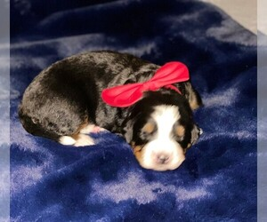 Bernese Mountain Dog Puppy for sale in DENTON, TX, USA