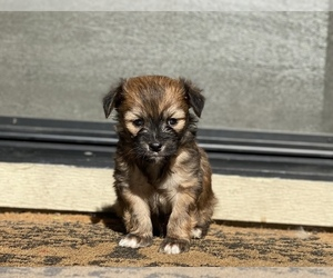 Morkie Puppy for Sale in HOLLISTER, California USA