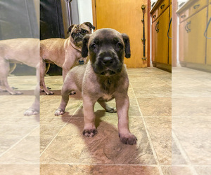 Great Dane-Siberian Husky Mix Puppy for sale in LONGVIEW, WA, USA