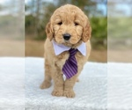 Small #6 Goldendoodle