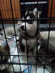 Sharberian Husky Dog For Adoption in DALLAS, TX, USA