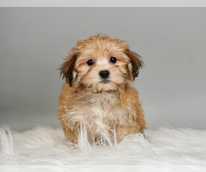 Maltese-Morkie Mix Puppy for Sale in WARSAW, Indiana USA