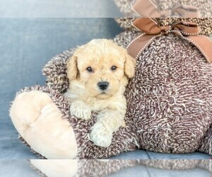 Poochon Puppy for sale in AMITY, NC, USA