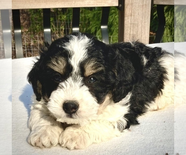 Medium Photo #1 Bernedoodle Puppy For Sale in CHATHAM, PA, USA