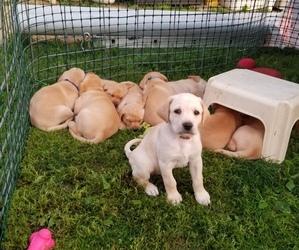 Labrador Retriever Dog for Adoption in WISCOY, Minnesota USA