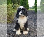 Puppy 13 Miniature Bernedoodle