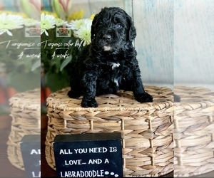 Labradoodle Puppy for sale in PAW PAW, MI, USA
