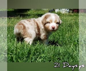 Australian Shepherd Puppy for sale in LAMONT, OK, USA