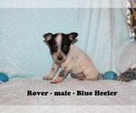 Small Australian Cattle Dog-Rat Terrier Mix