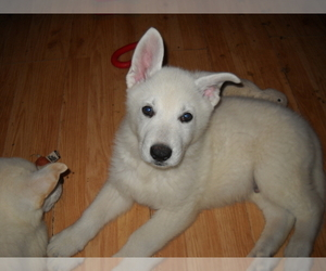 German Shepherd Dog Puppy for sale in SHAWANO, WI, USA