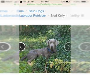 Labrador Retriever Puppy for Sale in SAN ANTONIO, Texas USA