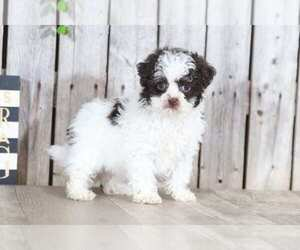 Shih-Poo Puppy for Sale in MOUNT VERNON, Ohio USA