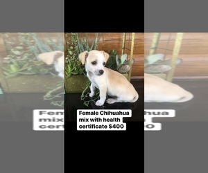 Chipin Puppy for sale in PALATKA, FL, USA