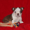 Boston Terrier Puppy For Sale in GAP, PA,
