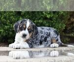 Small #4 Australian Shepherd-Beagle Mix