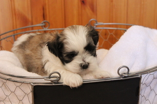 Mal-Shi Puppy For Sale in CONOVER, NC