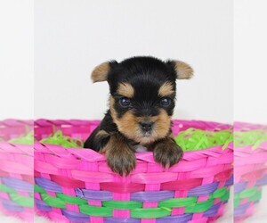 Yorkshire Terrier Dog for Adoption in VANCOUVER, Washington USA