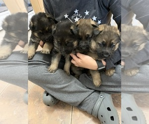 German Shepherd Dog Puppy for sale in WHEATFIELD, IN, USA
